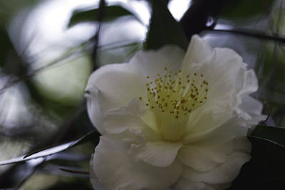 Photograph - Camellia Two by Ken Frischkorn