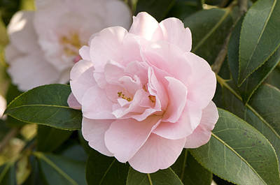 Camellia Photograph - Camellia X Williamsii 'charles Puddle' by Adrian Thomas