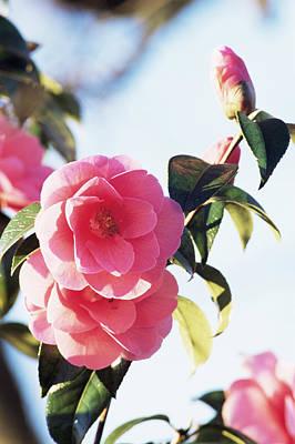 Camellia Photograph - Camellia X Williamsii 'donation' by Archie Young