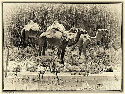 Israel Photograph - Camels In Lake Yeruham by Arik Baltinester