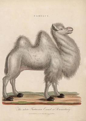 Dromedary Digital Art - Camelus by Hulton Archive