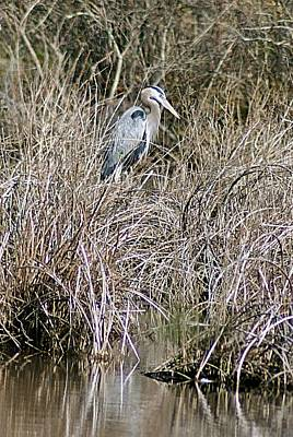 Photograph - Camouflaged Heron by Joe Faherty