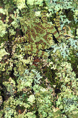 Camouflaged Vietnamese Mossy Tree Frog Print by John Pitcher