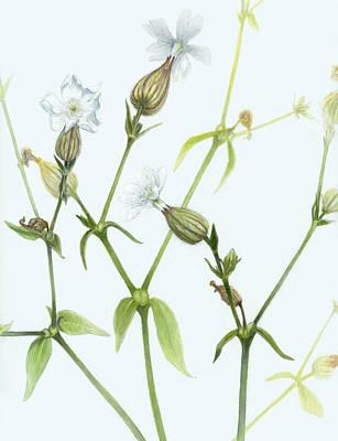 Detailed Botanical Painting - Campion by Scott Bennett