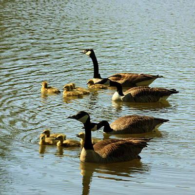 Canada Geese Families Art Print by Mark Codington