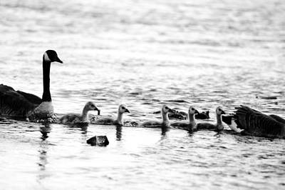 Photograph - Canada Geese Family II Bw by Paul Ge