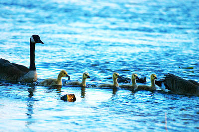 Photograph - Canada Geese Family II by Paul Ge