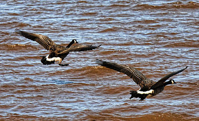 Photograph - Canada Geese In Flight Lake Superior by Lawrence Christopher