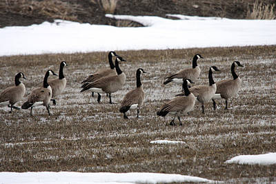 Photograph - Canada Goose - 0002 by S and S Photo