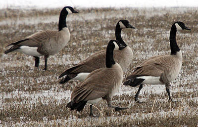 Photograph - Canada Goose - 0003 by S and S Photo
