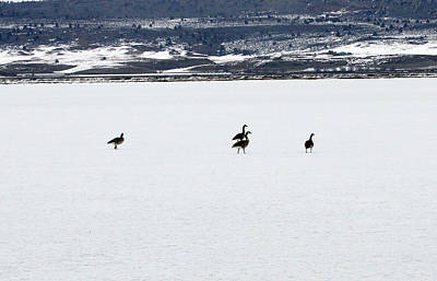 Photograph - Canada Goose - 0007 by S and S Photo