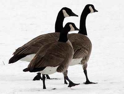 Photograph - Canada Goose - 0009 by S and S Photo