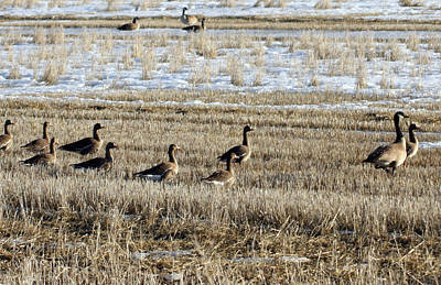 Photograph - Canada Goose - 0015 by S and S Photo