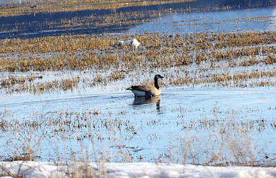 Photograph - Canada Goose - 0016 by S and S Photo