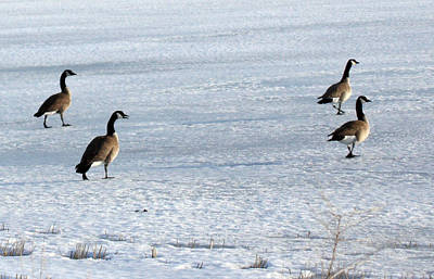Photograph - Canada Goose - 0018 by S and S Photo