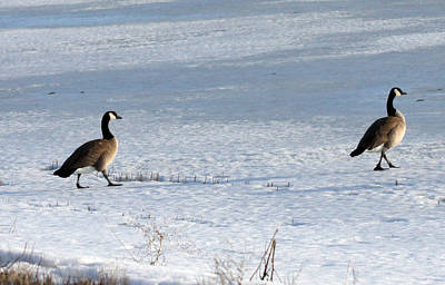 Photograph - Canada Goose - 0019 by S and S Photo