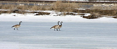 Photograph - Canada Goose - 0028 by S and S Photo