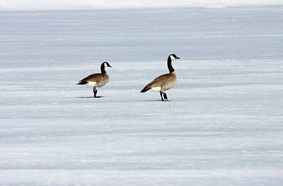 Photograph - Canada Goose - 0030 by S and S Photo