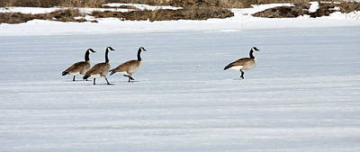 Photograph - Canada Goose - 0031 by S and S Photo