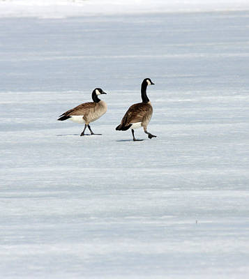Photograph - Canada Goose - 0032 by S and S Photo