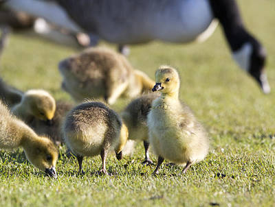Y120907 Photograph - Canada Goose And Gosling by Ian Gethings