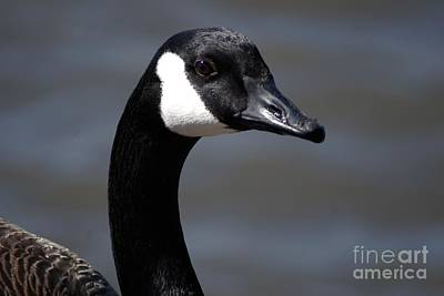 Photograph - Canada Goose Close-up by Mark McReynolds