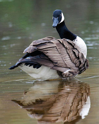 Photograph - Canada Goose by Craig Leaper