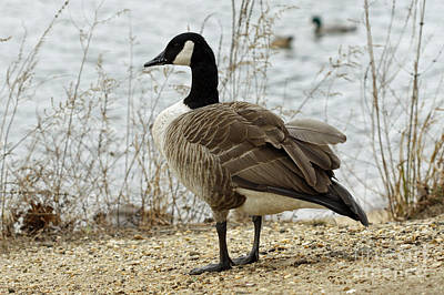 Canada Goose Art Print by Denise Pohl
