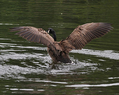 Nesting Photograph - Canada Goose Displays Wings - C3493d by Paul Lyndon Phillips