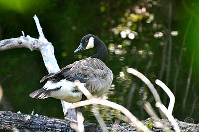 Photograph - Canada Goose by Healing Woman