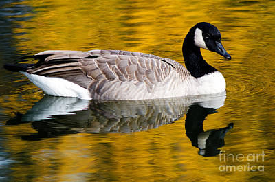Waterfowl Photograph - Canada Goose In Autumn by Terry Elniski