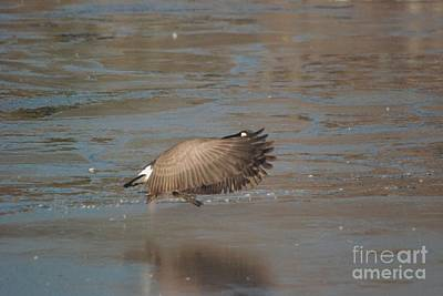 Art Print featuring the photograph Canada Goose In Flight by Mark McReynolds