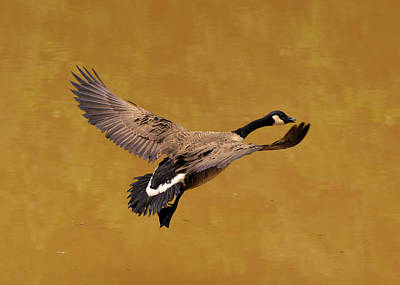 Canada Goose In Landing Approach  - C4557b Art Print by Paul Lyndon Phillips
