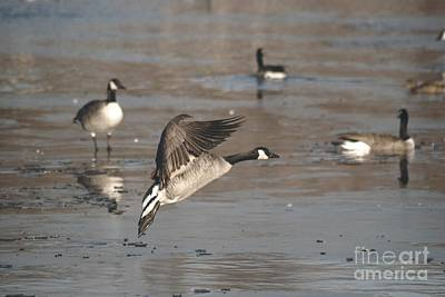 Art Print featuring the photograph Canada Goose In Mid-flight by Mark McReynolds