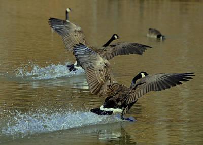 Bird Photograph - Canada Goose Ski Landing - C0635d by Paul Lyndon Phillips