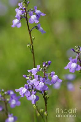 Photograph - Canada Toadflax by Don Youngclaus