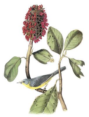 Warbler Painting - Canada Warbler by John James Audubon