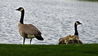 Photograph - Canadian Geese Family by Ms Judi