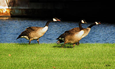 Photograph - Canadian Geese Foot Race by Ms Judi
