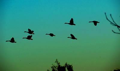 Canadian Geese In Flight Art Print by David Killian