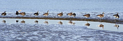 Canadian Geese Line Up Art Print by Mary Gaines