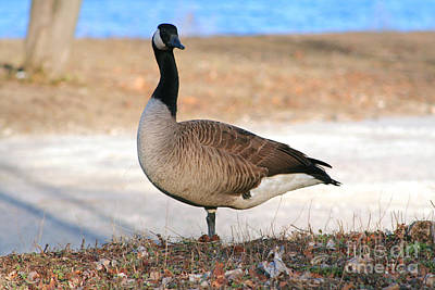 Photograph - Canadian Goose 2 by Susan Stevenson