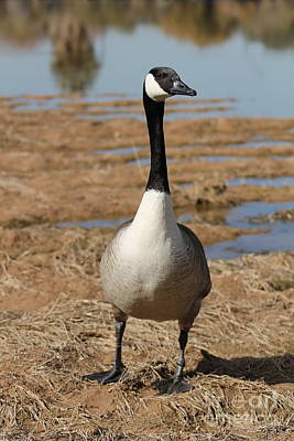 Photograph - Canadian Goose 6 by Pamela Walrath