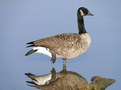 Target Threshold Photography - Canadian Goose by Alan Hutchins