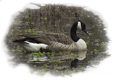 Photograph - Canadian Goose by David Waldrop