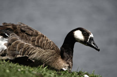 Photograph - Canadian Goose by Donna Greene