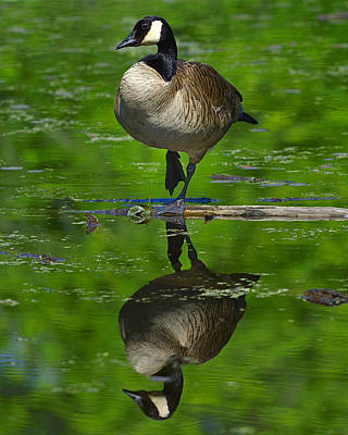 Photograph - Canadian Green by Tony Beck