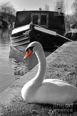 Photograph - Canal Swan by Yhun Suarez
