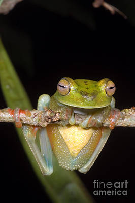 Central American Frogs Photograph - Canal Zone Tree Frog by Dante Fenolio