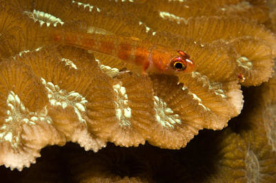 Kosrae Island Photograph - Candy-cane Goby Rests On A Hard Coral by Tim Laman